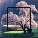 Stickers cerisier en fleur sticker autocollant interrupteur